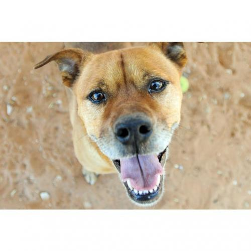 Adoptable Male American Pit Bull Terrier / Shepherd / Mixed (short coat)