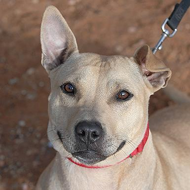 Adoptable Female American Pit Bull Terrier / Chinese Shar-Pei / Mixed (short coat)