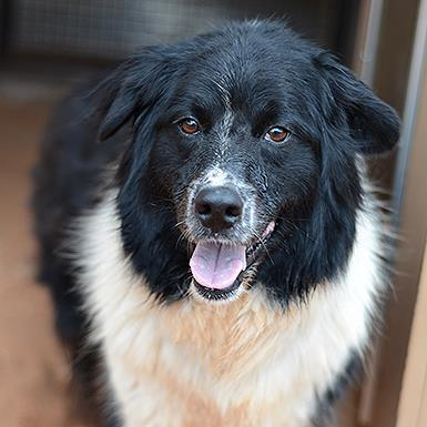 Adoptable Female Border Collie (medium coat)