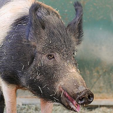 Adoptable Female Pig
