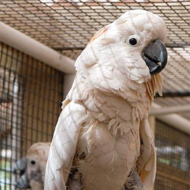 Adoptable Female Cockatoo
