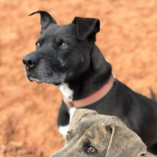Adoptable Male American Pit Bull Terrier (short coat)