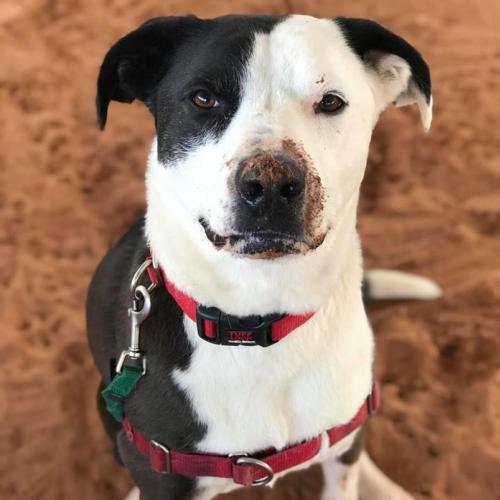 Adoptable Female Border Collie / American Pit Bull Terrier / Mixed (short coat)