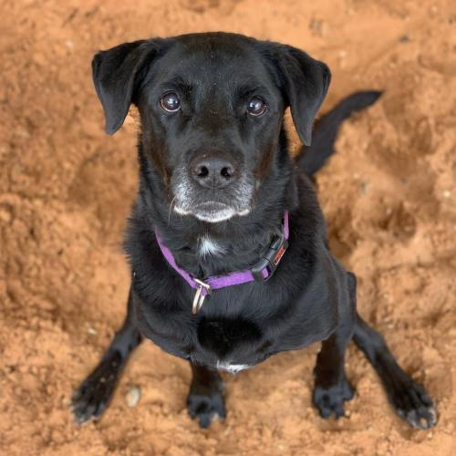 Adoptable Female Labrador Retriever (short coat)