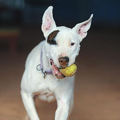Adoptable Female Bull Terrier / Boxer / Mixed (short coat)