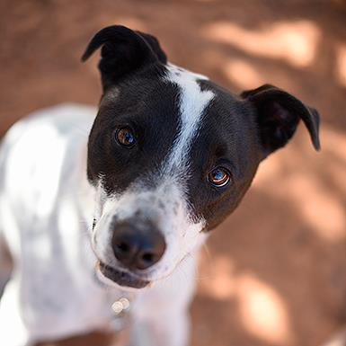 Adoptable Male Cattle Dog / Border Collie / Mixed (short coat)