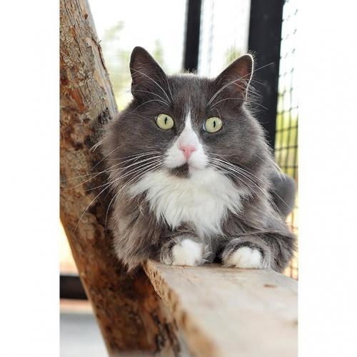 Adoptable Male Manx / Domestic Long Hair / Mixed (long coat)