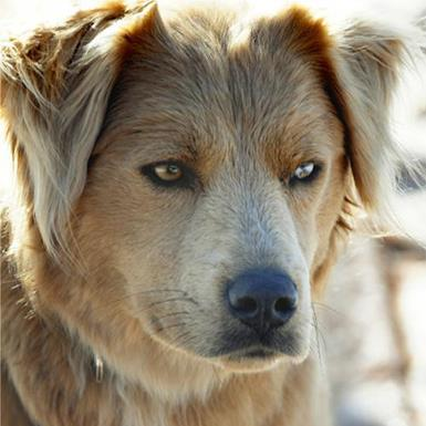 Adoptable Female Golden Retriever (long coat)