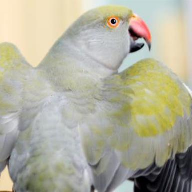 Adoptable Female Parakeet - Other