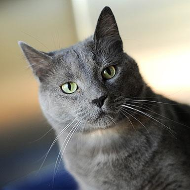 Adoptable Male Russian Blue / Domestic Short Hair / Mixed (short coat)