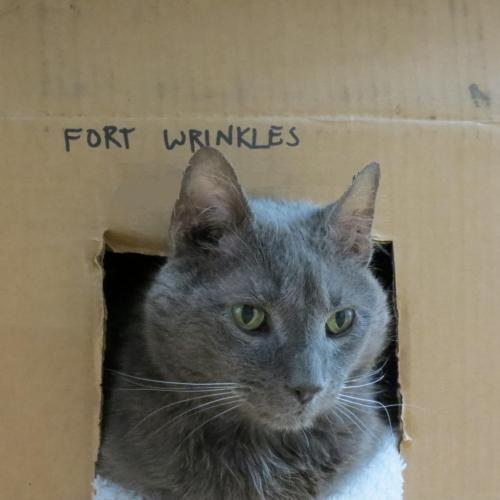 Adoptable Male Domestic Short Hair / Russian Blue / Mixed (short coat)