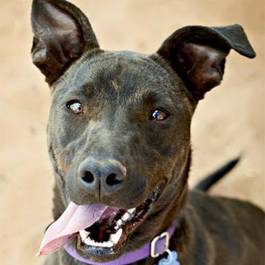 Adoptable Female American Pit Bull Terrier / Whippet / Mixed (short coat)