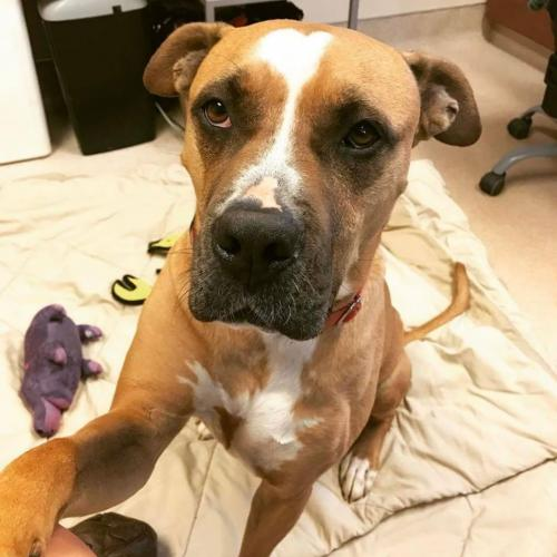 Adoptable Male Mastiff / Mixed (short coat)