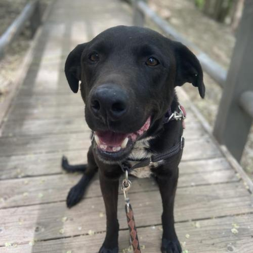 Adoptable Male Labrador Retriever (short coat)