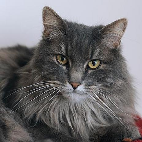 Adoptable Female Domestic Long Hair (long coat)