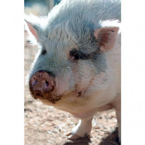 Adoptable Male Pig