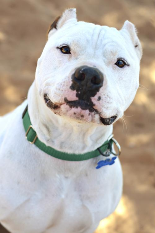 Dogo Argentino Named Ralph Is Available For Adoption At