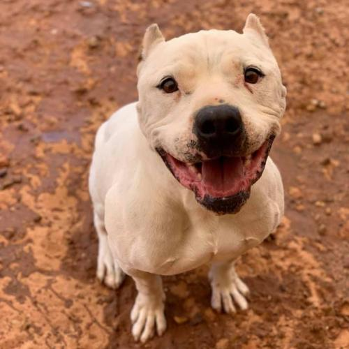 Adoptable Male Dogo Argentino / American Pit Bull Terrier / Mixed (short coat)