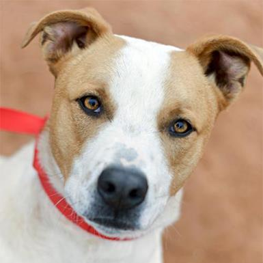 Adoptable Male Cattle Dog / American Pit Bull Terrier / Mixed (short coat)