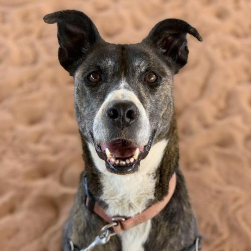 Adoptable Female Greyhound / American Pit Bull Terrier / Mixed (short coat)
