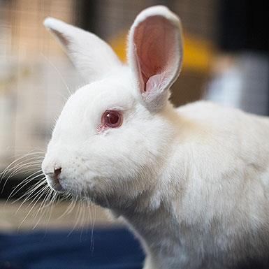 Adoptable Male Bunny Rabbit (medium coat)