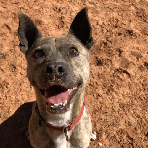 Adoptable Male Cattle Dog / Boston Terrier / Mixed (short coat)