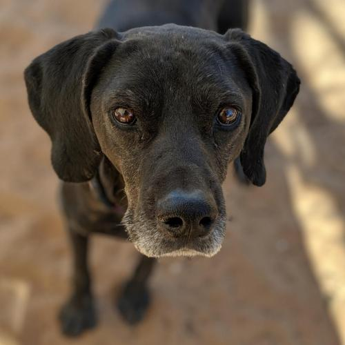 Adoptable Male Labrador Retriever / Pointer / Mixed (short coat)