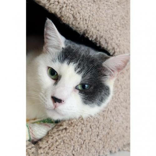 Adoptable Male Domestic Short Hair (short coat)