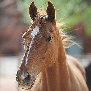 Adoptable Male Thoroughbred