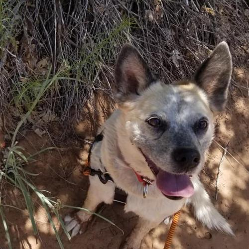 Adoptable Female Cattle Dog (medium coat)