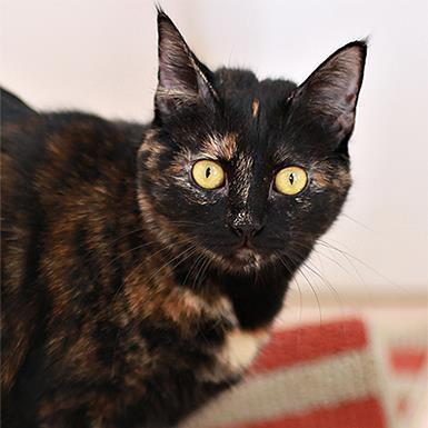 Adoptable Female Domestic Short Hair (short coat)