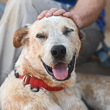 Adoptable Male Cattle Dog / Retriever / Mixed (medium coat)