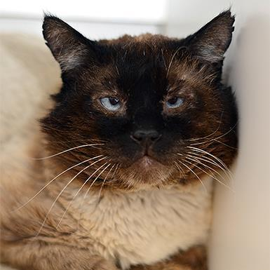 Adoptable Male Siamese