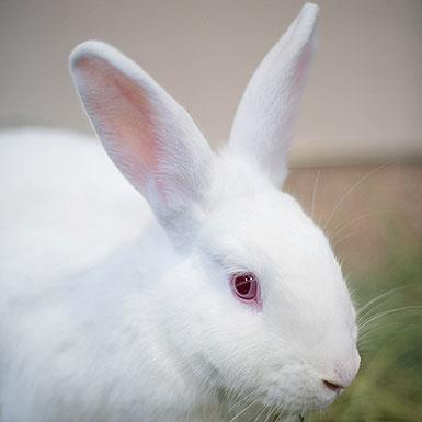 Adoptable Female Florida White (medium coat)