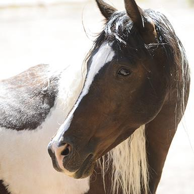 Adoptable Female Horse / Tennessee Walker
