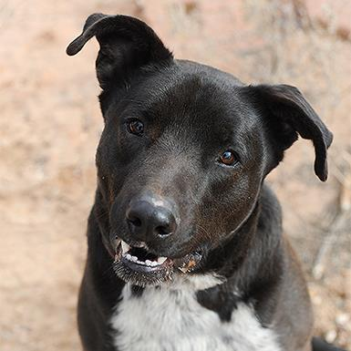 Adoptable Male Labrador Retriever / Border Collie / Mixed (medium coat)