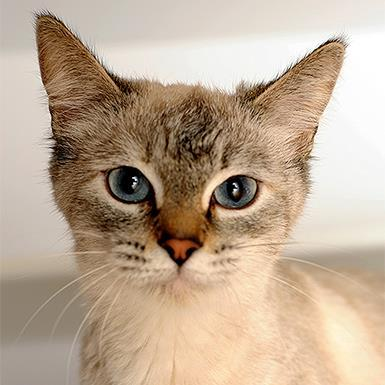 Adoptable Female Siamese