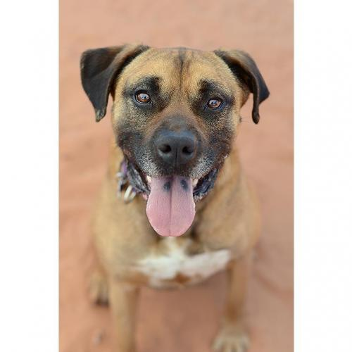 Adoptable Male Boxer (short coat)