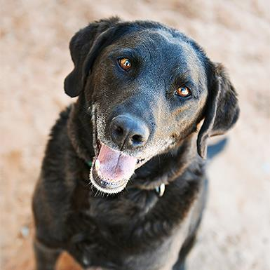 Adoptable Male Labrador Retriever (medium coat)