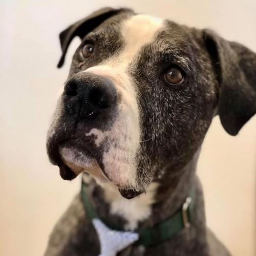 Adoptable Male American Bulldog / American Staffordshire Terrier / Mixed (short coat)