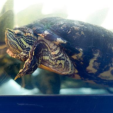 Adoptable Male Red-Eared Slider