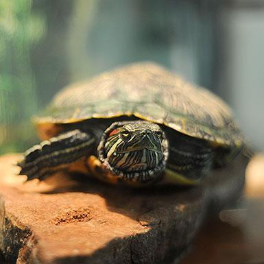 Adoptable Female Red-Eared Slider