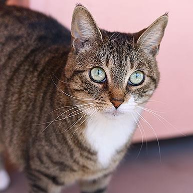 Adoptable Female Domestic Short Hair / Tabby (short coat)