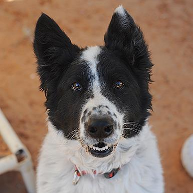 Adoptable Male Border Collie (medium coat)