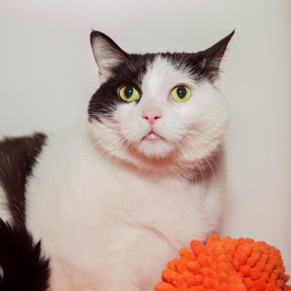 Adopt Domestic Short Hair Cat named Hennessy