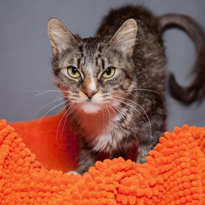 Adopt Domestic Short Hair Cat named Gracie