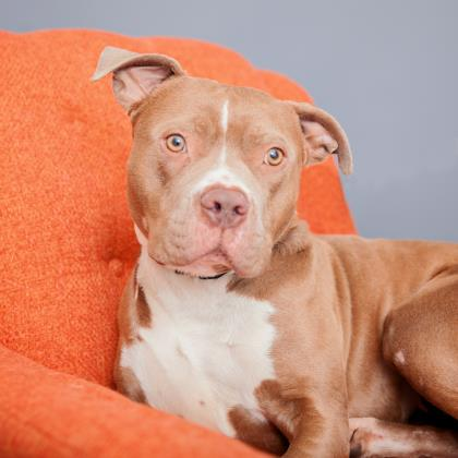 Adopt American Pit Bull Terrier Dog named Mississippi