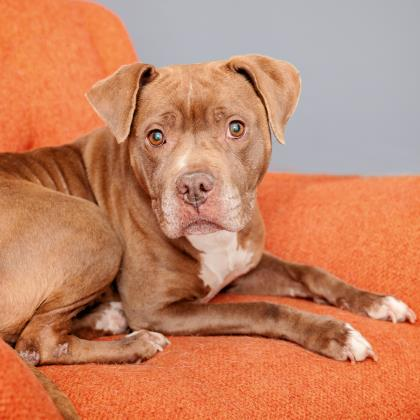 Adopt American Pit Bull Terrier Dog named Chamomile