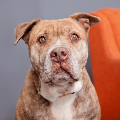 Adopt Pit Bull Terrier Dog named Princess
