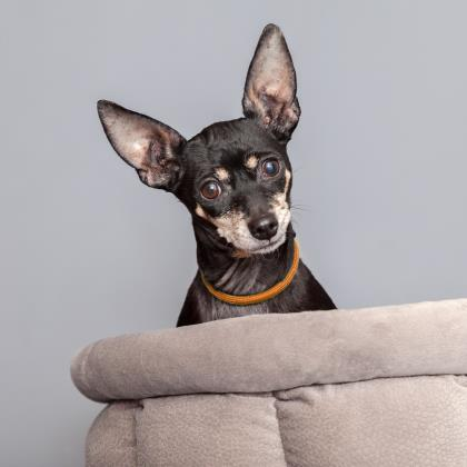 Adopt Chihuahua Dog named Sasha